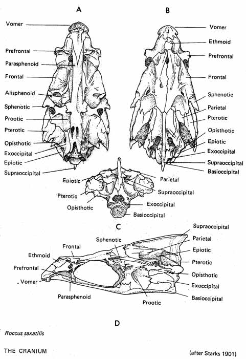 osteology  general information